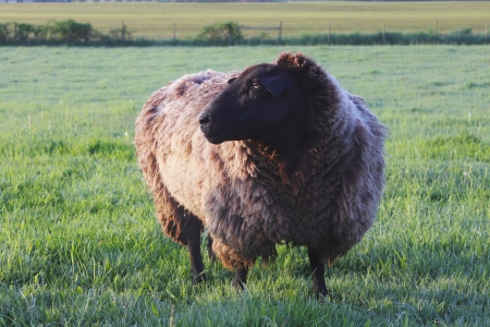 woolly: A Woolly Sheep in the Pasture