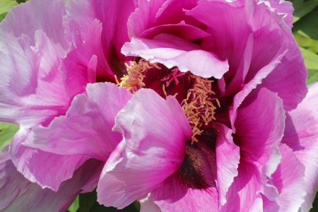 tree peony: Close on Japanese Tree Peony