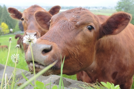 Brown Dairy Cow Smelling Dandelion photo