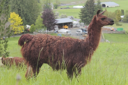 Dark Brown Lama photo