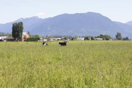 Dairy cows enjoy an abundance of grass in a large, rural field
