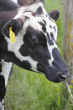 spotted: Close on a spotted dairy cow Stock Photo