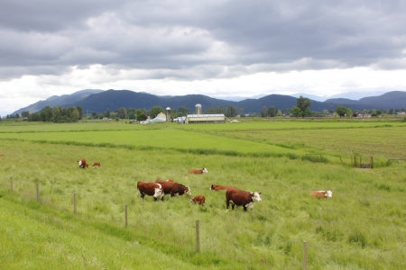 beef cattle: A Dairy Ranch in southwestern British Columbia Stock Photo