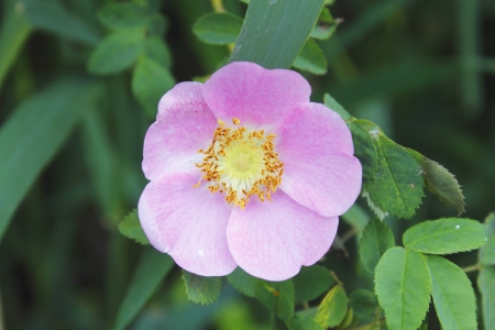rosebush: Wild Pink Bloom