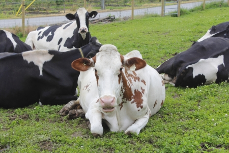 dairy cow: Shocked and perplexed, a dairy cow stares back at the photographer Stock Photo