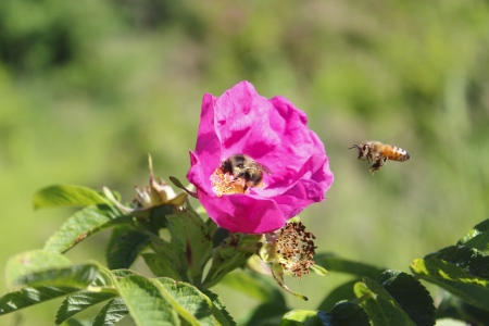 A Bee pollinates a wild rose photo
