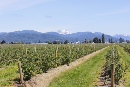 Mount Cheam overlooks blueberry fields in the Fraser Valley