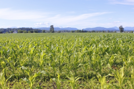 ripen: Corn is starting to ripen and mature in the summer sunshine Stock Photo