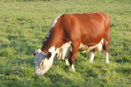 teats: A brown and white dairy cow is ready for milking