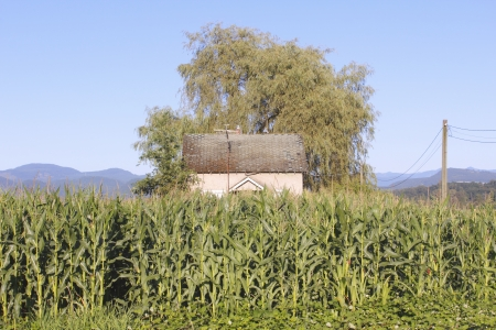 Tall corn dwarfs a house photo