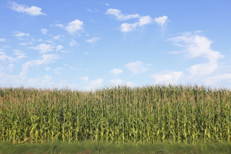 A corn crop is quickly reaching maturity Stock Photo