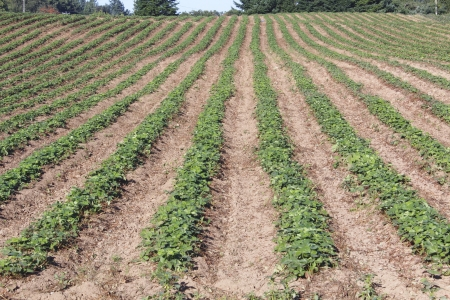 Strawberry plants are neatly lined up in rows