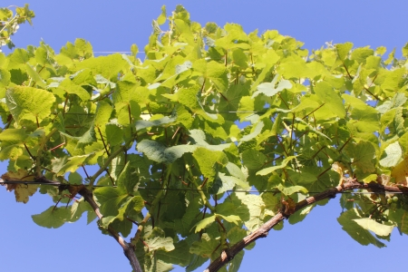 Young grapevines supported on cable