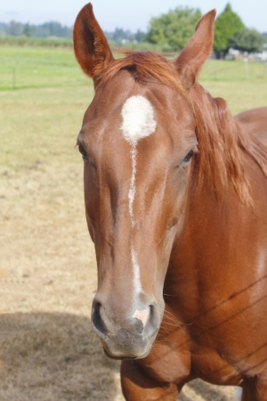 A young chestnut colored mare