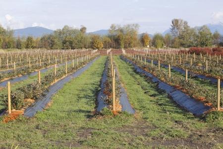 Bodembedekkers wordt gebruikt om bosbessen struiken te beschermen tegen de strenge winter elementen. Stockfoto