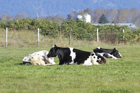 Three cows rest peacefully in a warm and sunny autumn pasture Stock Photo