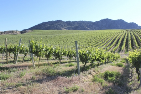 expansive: A wide and expansive vineyard nestled near rolling mountains