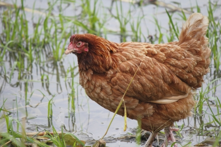 A brown free range hen explores wetlands photo