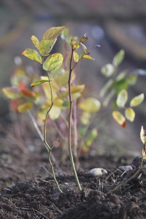 planted: Freshly planted blueberry bush Stock Photo