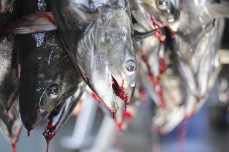 chum: After their eggs have been removed, salmon hang on hooks preparing for processing Stock Photo