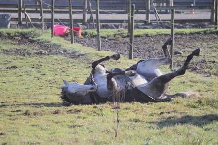 A horse enjoys a good scratch by rolling on the ground