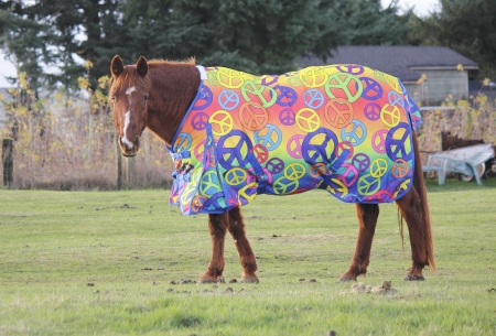 Horse wearing a body wrap or comforter