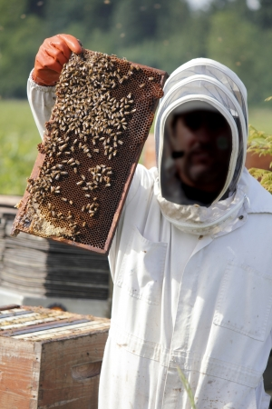 A Beekeeper holds up a plate colonized with honey bees   Archivio Fotografico