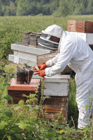 A Beekeeper reaches for the fogger or smoker