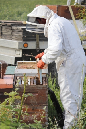 man made: A Beekeeper removes a plate from a man made beehive box    Stock Photo