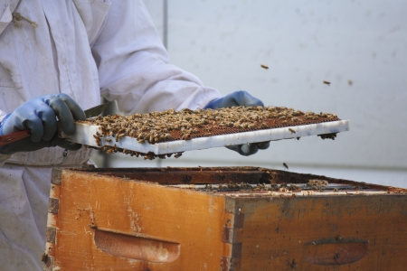 A frame or beehive plate is thick with honey that a Beekeeper is collecting
