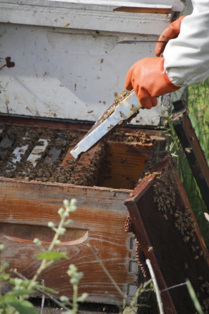 A Beekeeper removes the frame or plate from a man made beehive box to collect the honey   Reklamní fotografie