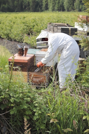 A Beekeeper is busy at work removing honey from the frames or plates on a beehive box