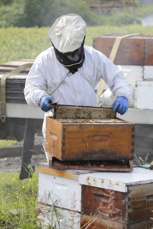 A Beekeeper lifts the honey frame from a man made beehive box   photo