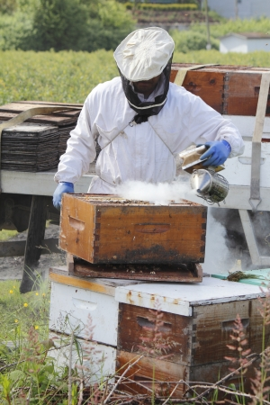 A Beekeeper smokes or fogs active bees to calm them before removing the honey   photo