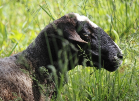 A black sheep sits in tall, Spring grass