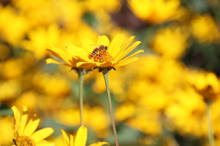 A wasp pollinates a Daisy