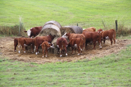 A group of cows congregate around hay bales
