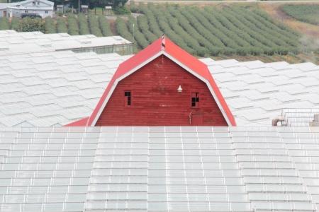 A barn looks half buried among hundreds of greenhouses