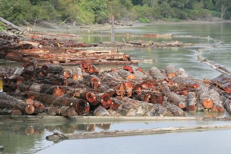 unprocessed: A log boom comprised of unprocessed red cedar logs.