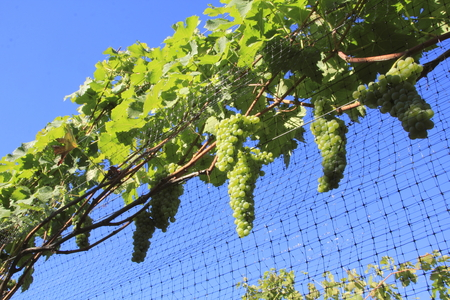 wire mesh: Ripening grapes are protected against birds and rodents with a wire mesh or screen. Stock Photo