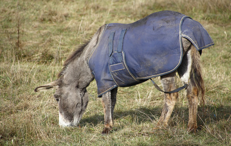 burro: A donkey or burro wears a comforter to keep warm during the chilly nights Stock Photo