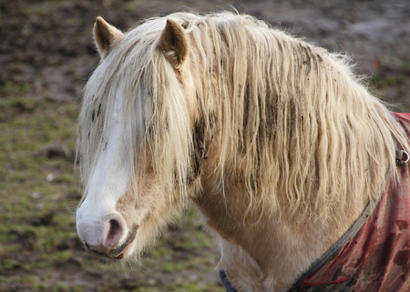 muddy: Unkempt, dirty and neglected horse stands in its muddy pen.