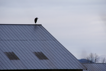 A single Heron stands vigil on the roof of a barn. photo