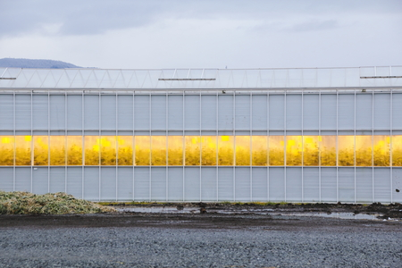The yellow glow from growing lights in a greenhouse.