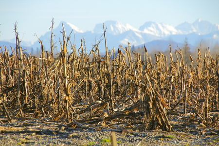 snow capped mountains: Corn has been harvested and the remnants stand in front of snow capped mountains.