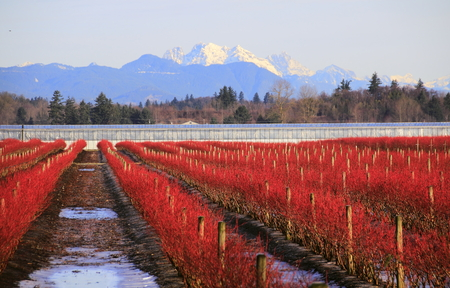 A crimson red blueberry field set against a snow capped mountain in winter.