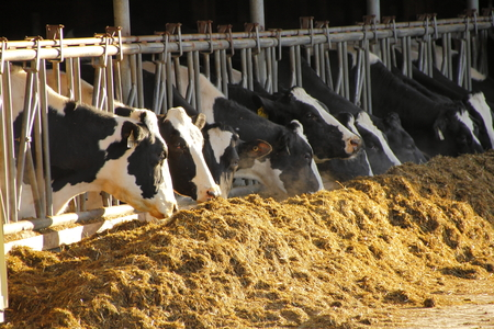 Dairy herd feeds on Soya Lecithin Cattle Feed during the winter months.