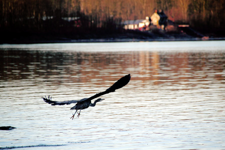 wing span: A sawmill catches the early morning light while a  Blue Heron flies across the river. Stock Photo