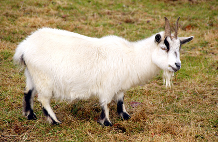 pygmy goat: A pygmy goat is a breed of miniature domestic goat kept as pets, milk producers and working animals.