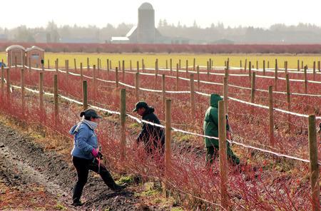 operarios trabajando: Trabajadores agrícolas mexicanos en el estado de Washington son ocupados arbustos de arándanos recorte en invierno.